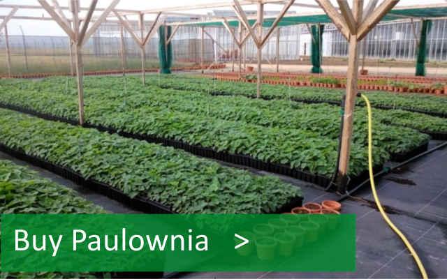 Paulownia plantation business plan