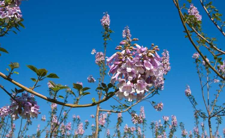 Kiri Paulownia plants plantations species cathaia com
